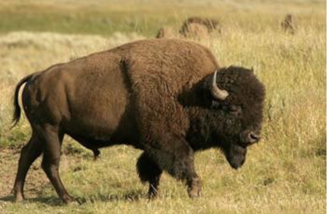 Two different beasties: Bison and buffalo