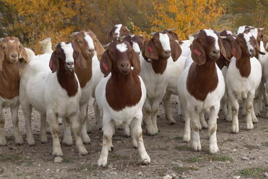 Update for 5-Step® Meat Goat Animal Welfare Standards V1