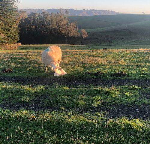 Farm Life: Lambing