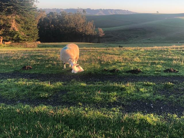 GAP Farm Life: A Lambing Success Story