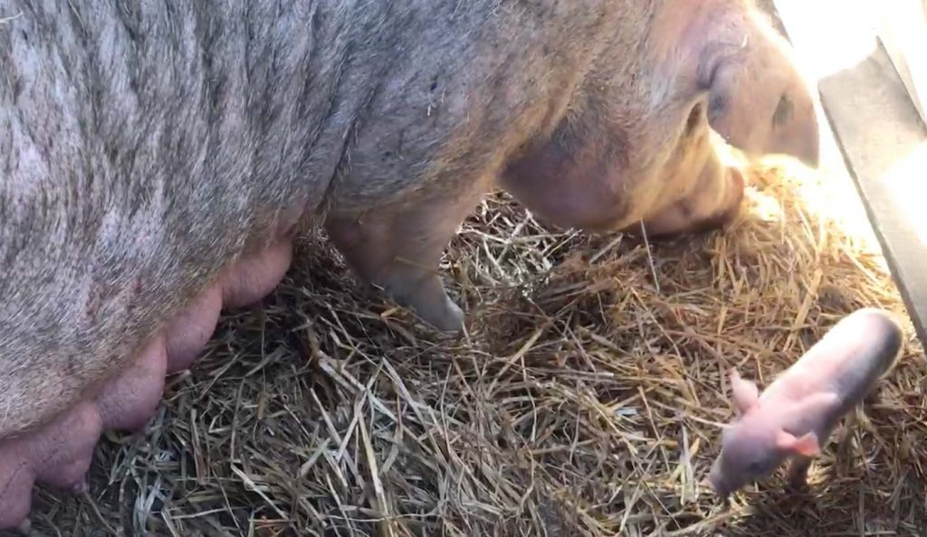 Week 1: A sow builds a nest out of straw for her and her piglets.