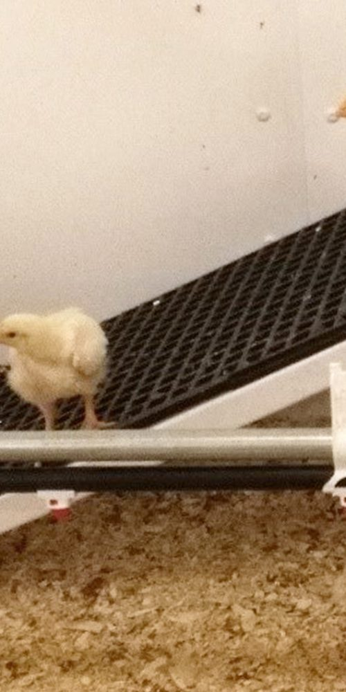 Better Chicken Project - Are today's broiler chicken too inactive?